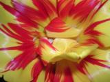 Tulipredyellomacro