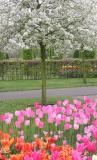 Tree&Tulips