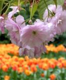 Treeflower&OrangeTulip
