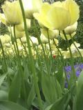 yellowtuplip