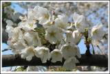 weisse Kirschblueten