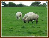 Irish wool