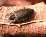 Ellychnia sp. (non-luminous)