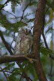 African Scops Owl winking