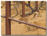 Gazelle cooling off in the sand.jpg