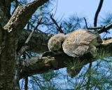 Dead owlet