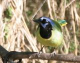 Green Jay (Green) - Northeast Mexico/south Texas form