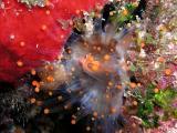 orange ball corallimorph