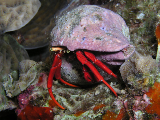 red reef hermit
