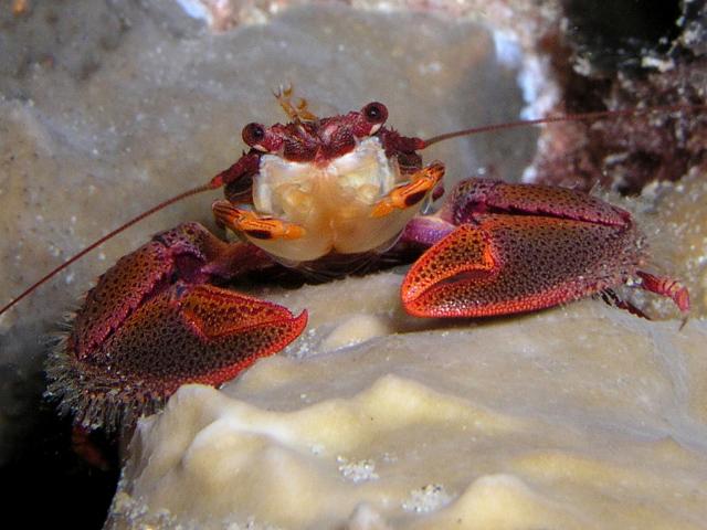 red porcelain crab