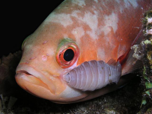 creolefish with isopod