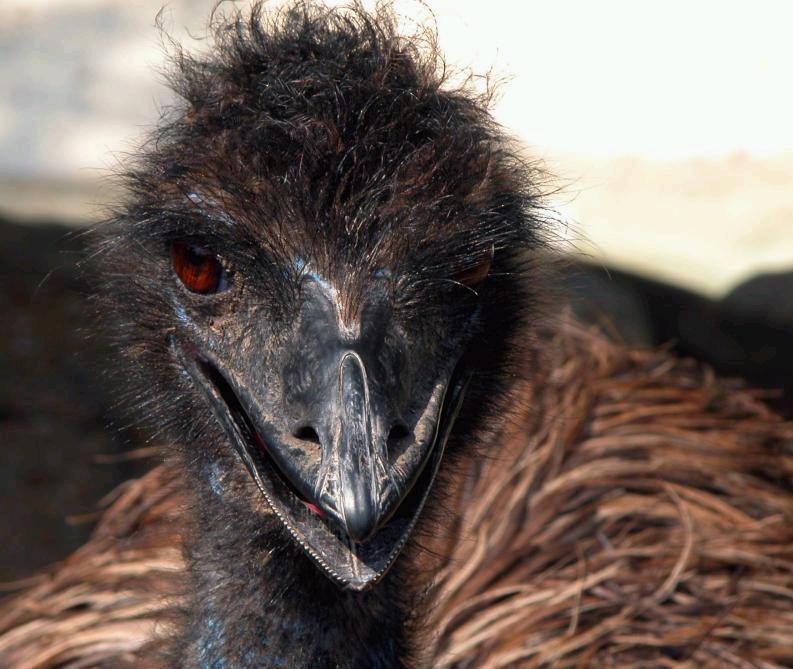 Emu at Indianapolis Zoo