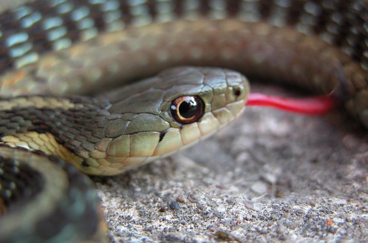Snake Red Tongue