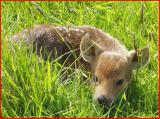 Chineese  water  deer  fawn.