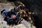 Spider having Shed