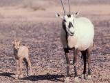 Arabian Oryx.jpg