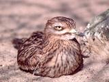 008 Stone Curlew.jpg