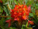Euphorbia Fire Glow