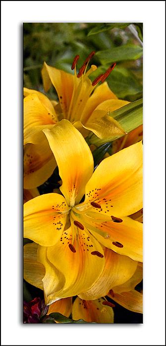 Golden lilies (2110)