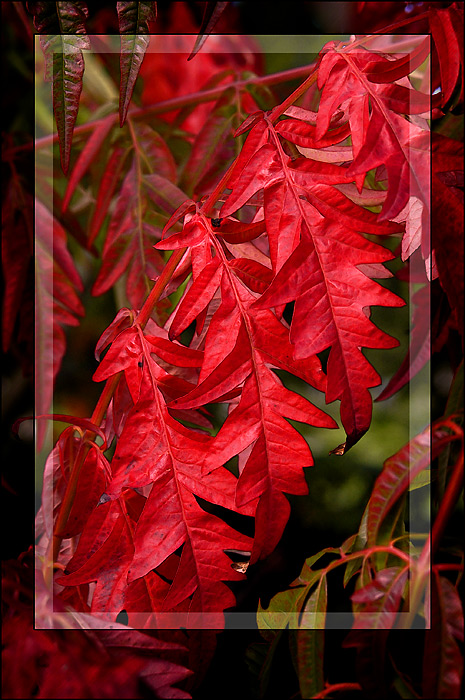 Red leaves, Church Lane, Martock, Somerset