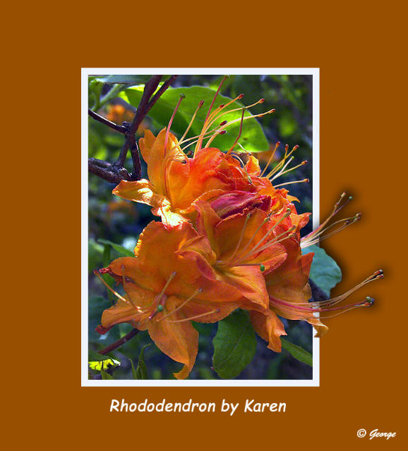 Rhododendron Finished.jpg