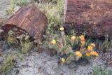 Cactus Flowers & Petrified Wood
