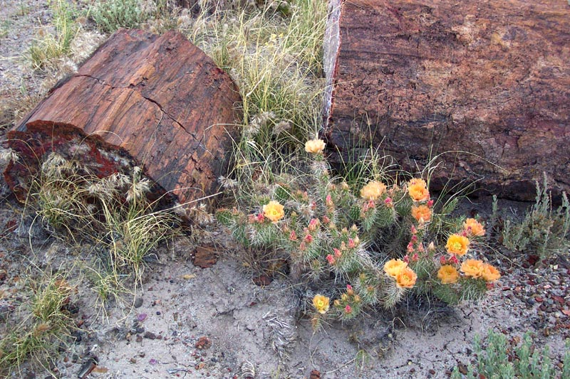 Cactus Flowers & Petrified Wood
