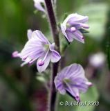 Common Speedwell-N