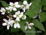 Thimbleberry-N