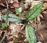 Rattlesnake Weed-N