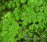 Tall Meadow Rue-N