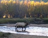 Elk crossing Big Thompson