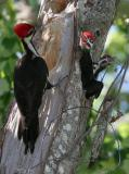 Pileated Woodpecker and chicks.