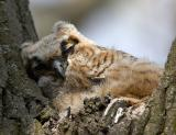 Great-horned Owl Chick Sleeps