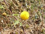 Hale Koa flower