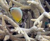 Poisson-papillon Chaetodon trifasciatus