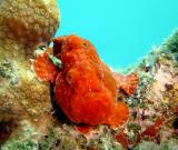 Orange Longlure Frogfish
