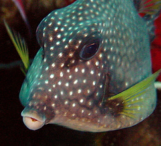 Smooth Trunkfish2