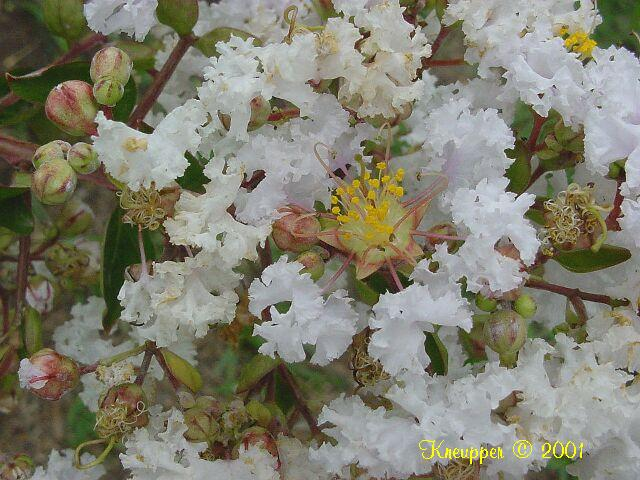 crype myrtle