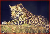 Jaguar cub.