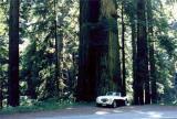 Healey dwarfed by Redwood tree