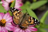 painted lady 01