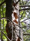 Pileated woodpecker was here