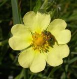 Augochlora spp.