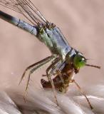 Detail of Eastern Forktail Damselfly - female