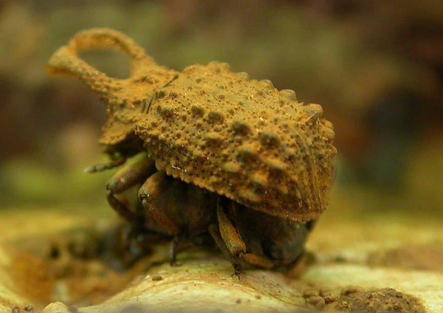 Horned Fungus Beetles - mating