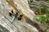 White-Tail-Dragonfly.jpg
