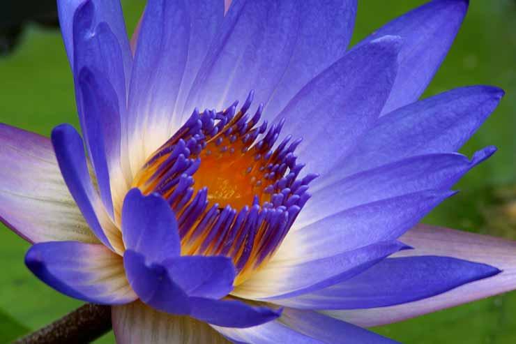Waterlily1.jpg