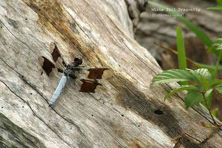 White-Tail-Dragonfly.jpg