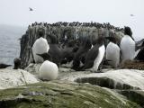England - Wildlife of the Farne Islands